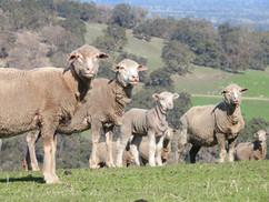 sheep.jfif