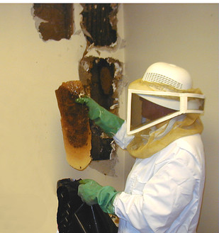 Bees removed from wall