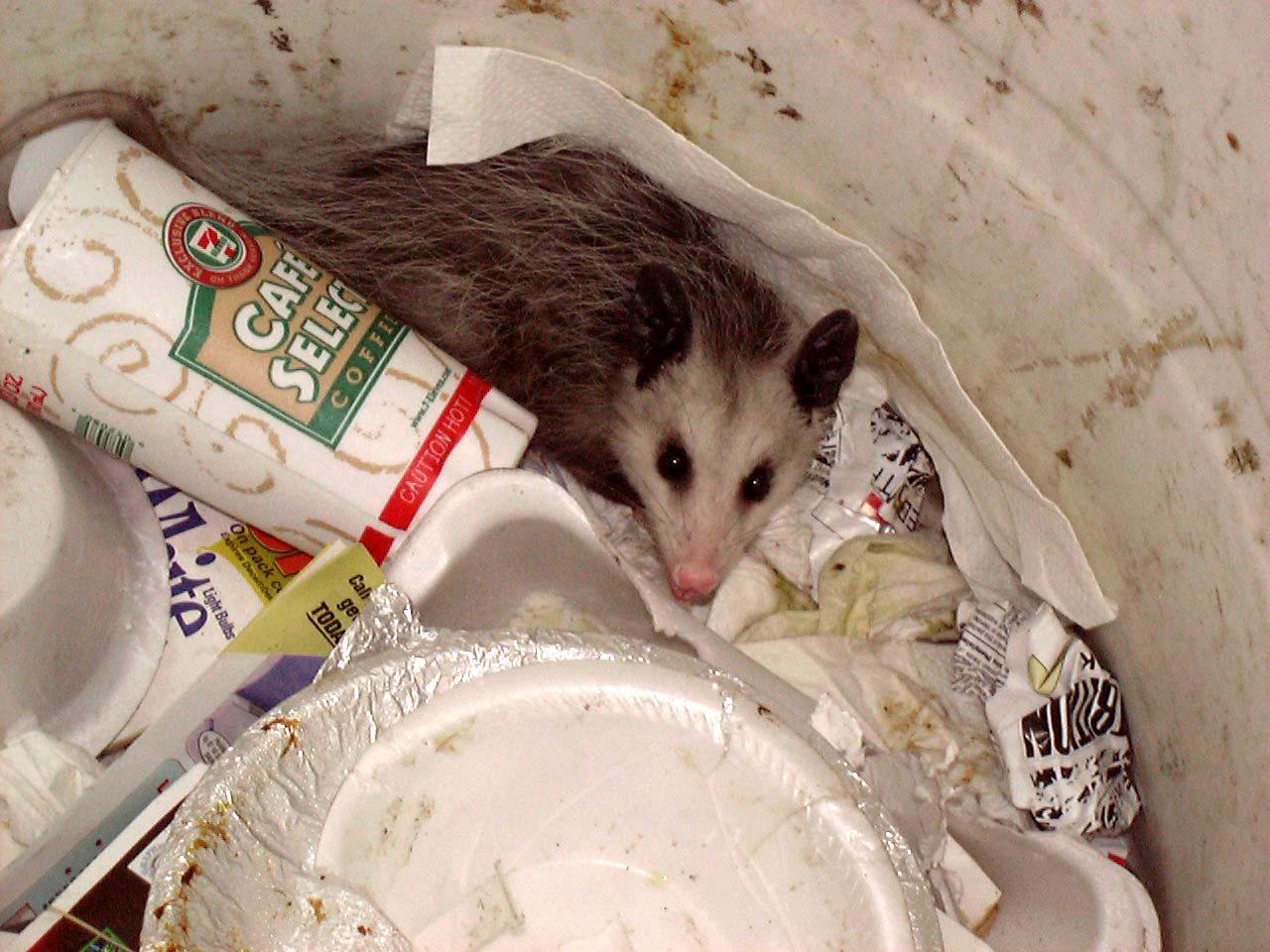 Possum in trash can