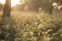 tea-garden-2692217_edited.jpg
