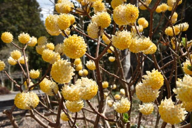黄花ミツマタが見事