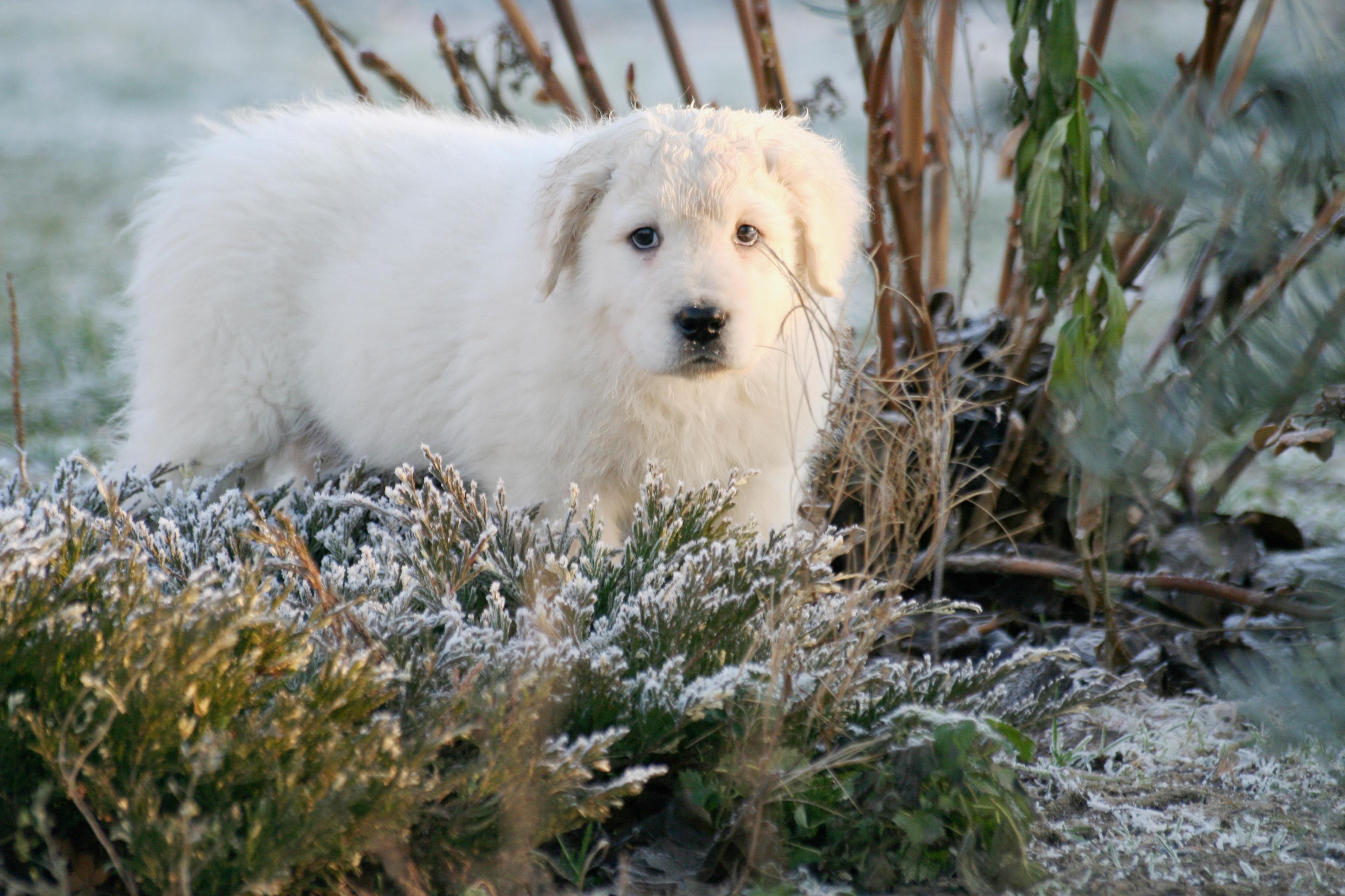 maremmano abruzzese puppy