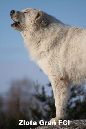 Pies rasy Maremmano Abruzzese