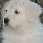 maremmano abruzzese puppy_1.jpg
