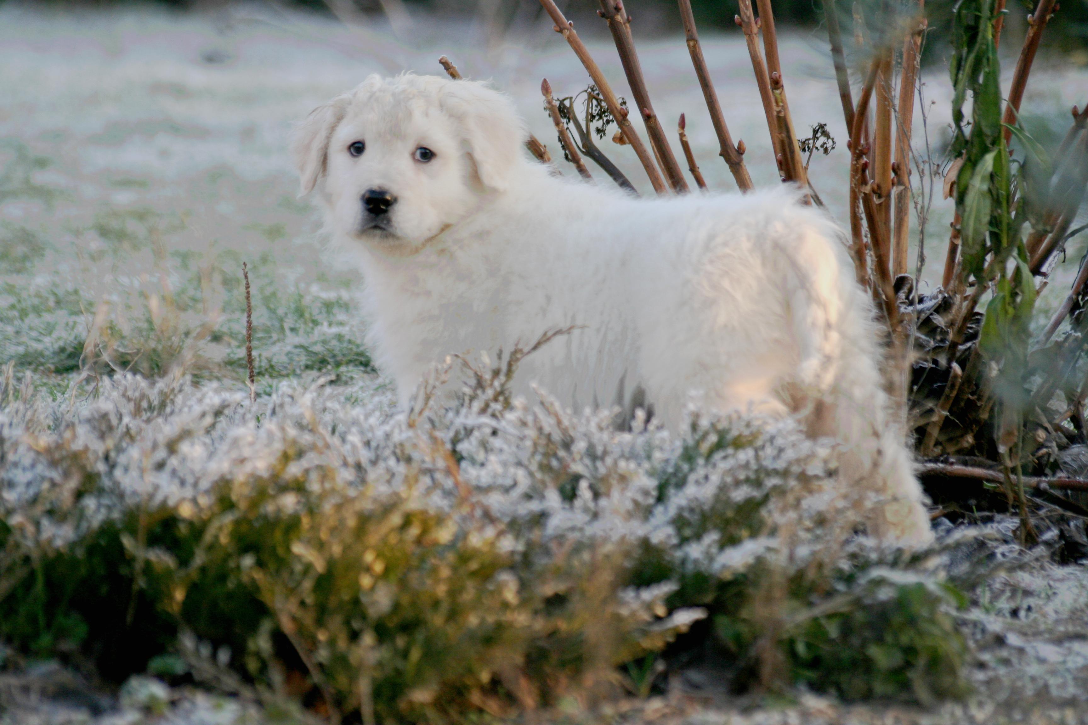 maremmano-abruzzese puppy