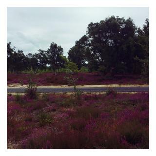De Mimizan à Molliets, les champs de bruyères qui n'ont rien à envier à la Provence !
