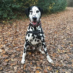 Mickey Dog Dalmatian