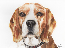 A3 Beagle