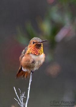 TeriFranzen_Hummingbird.jpg