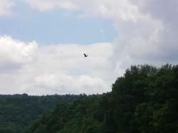 Hia Is Bald Eagle flying