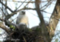 Nesting Leucistic Red-tiled Hawk