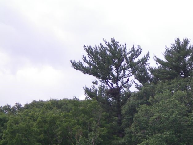 Hia's bald eagle nest