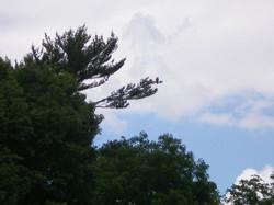 Hia the Bald Eagle on Tree Branch