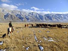 cattle-drive-600x450.jpg