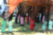 polo ponies south africa