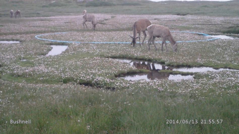 Deer with sea pinks.jpg