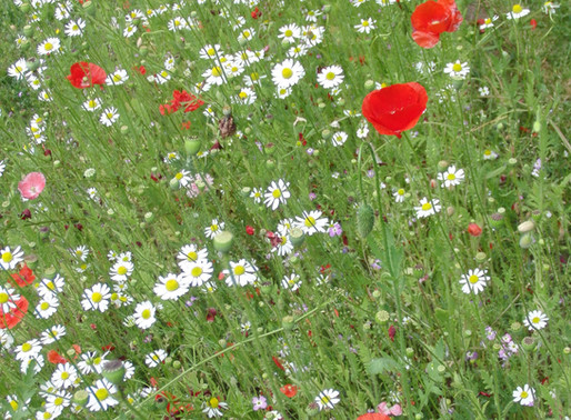 Une prairie fleurie dans vos jardins