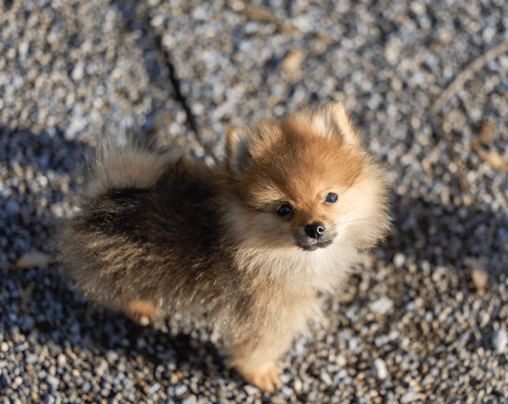 Finding Pomeranian Puppies For Sale In Switzerland