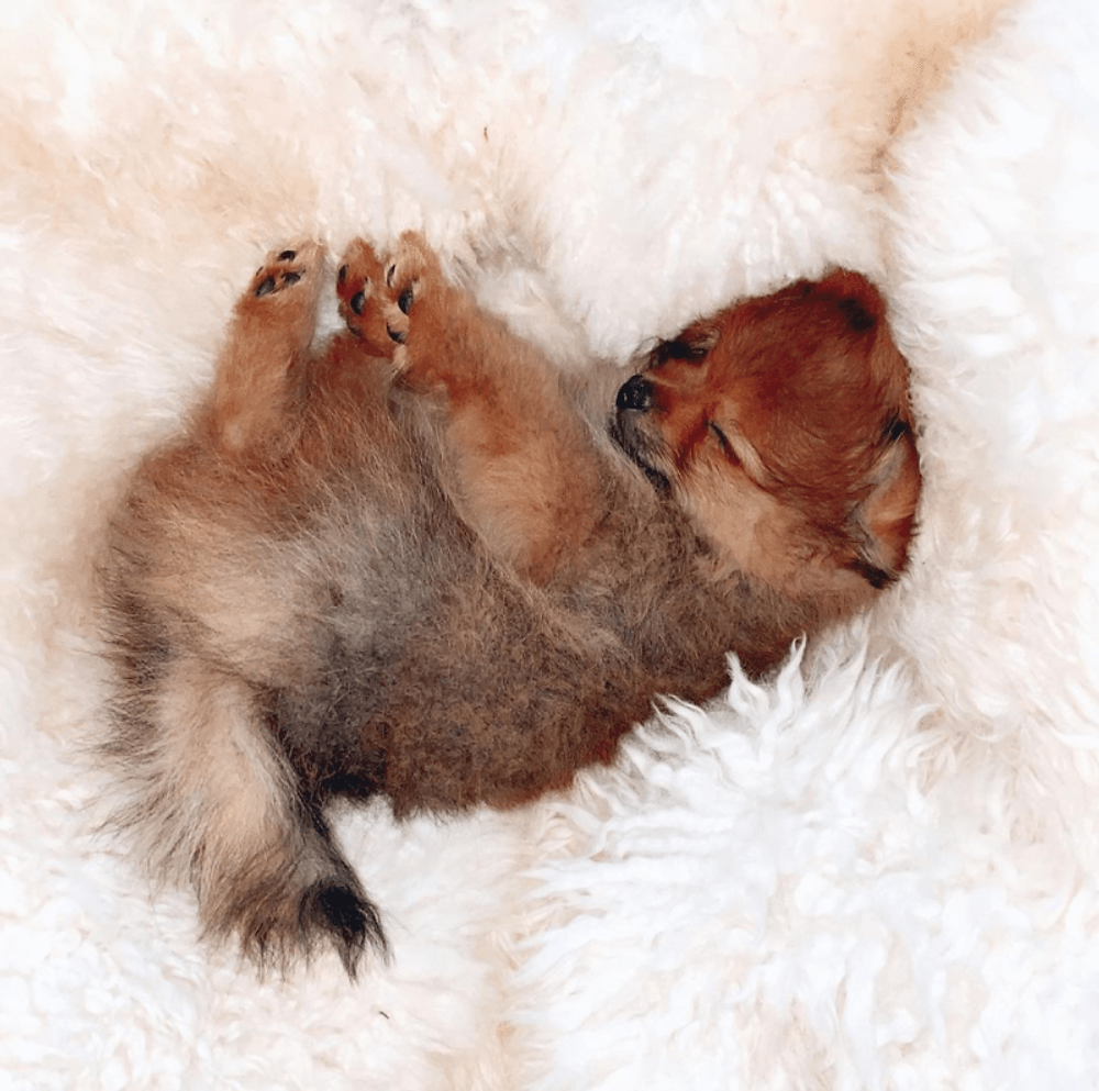 The First 24 Hours With My Kleinspitz Pomeranian Puppy