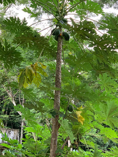 Tapajos National Forest Coconut Tree