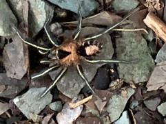 Tapajos National Forest Spider