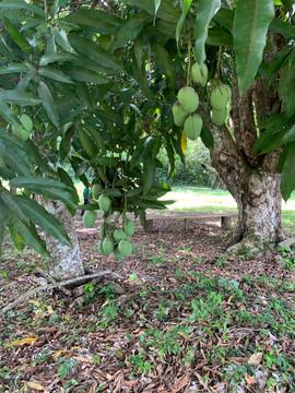 Tapajos National Forest Mango Tree