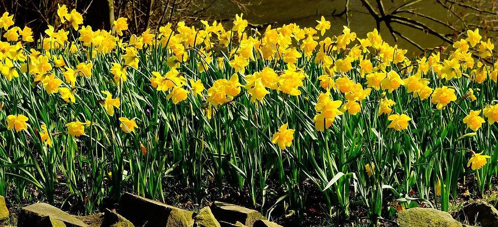 daffodils-1281788_1280.jpg