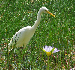 Little Egret & Water Lily