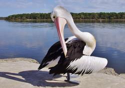 Pelican Pas De Deux