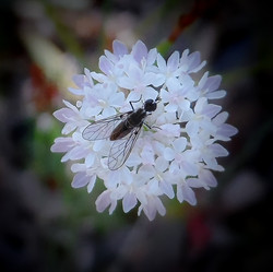 Soldier Fly on Parsnip Trachymene