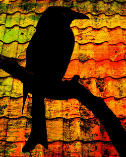 Spangled Drongo in silhouette