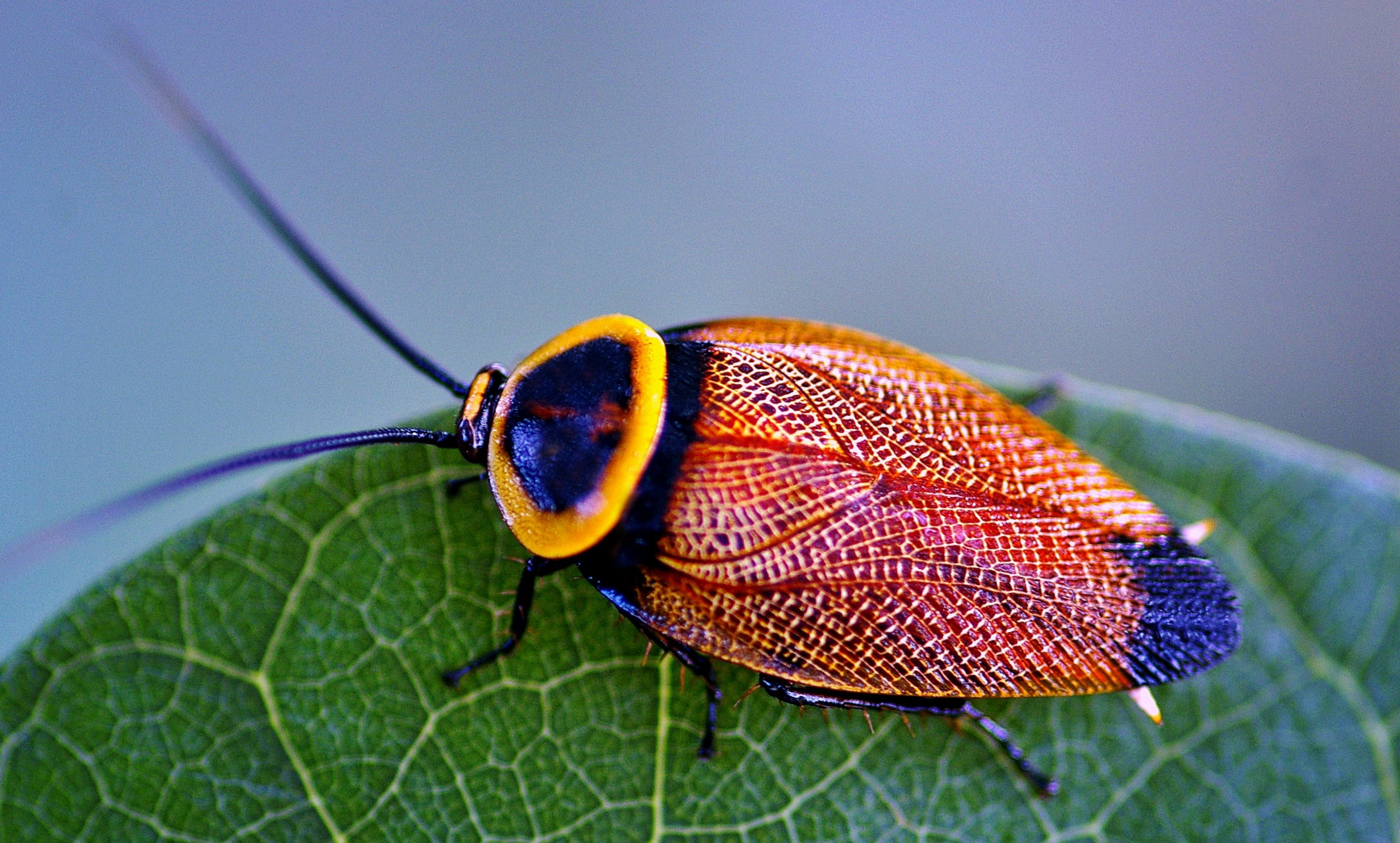 Pretty Cockroach