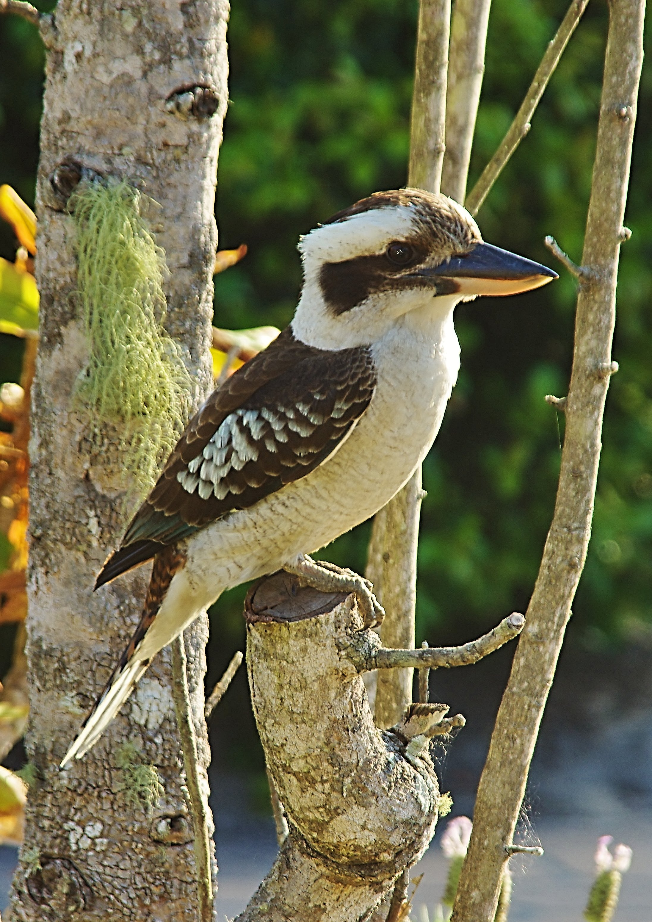 Southern Kookaburra