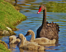 Black Swan & young