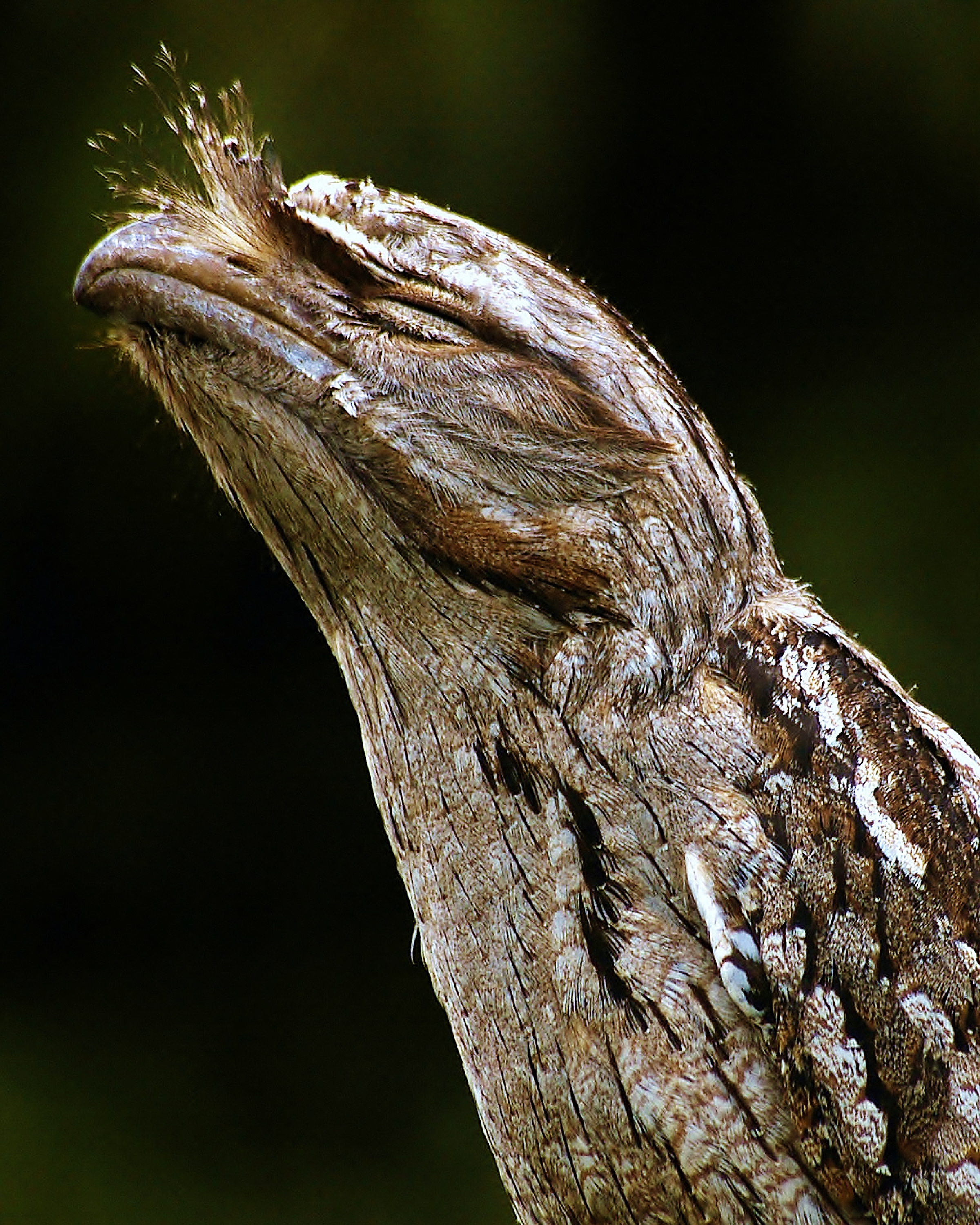 Tawny Frogmouth (in cognito)