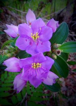TCB Native Lasiandra or Blue Tongue