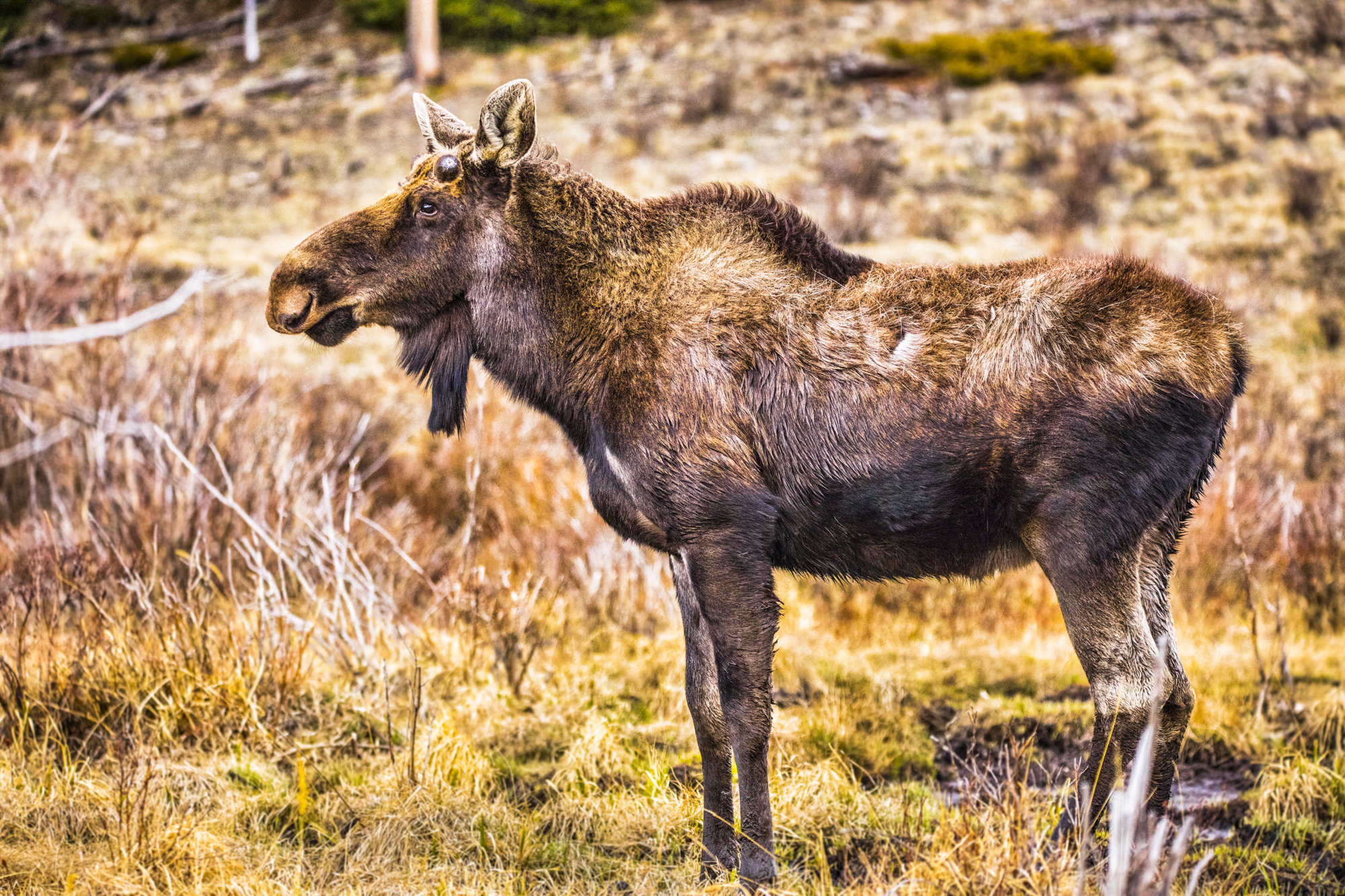 Kenosha Pass Moose