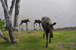 Moose calves at lawn