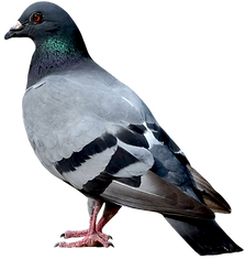 birds_PNG43.png