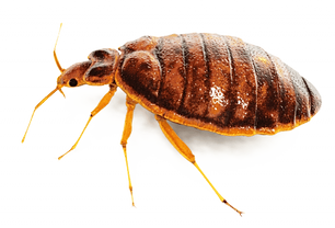 bed-bug.png