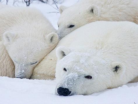 Polar Bear Arctic Safari