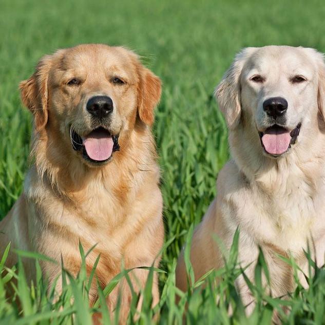 Labrador-vs-Golden-retriever-1.jpg
