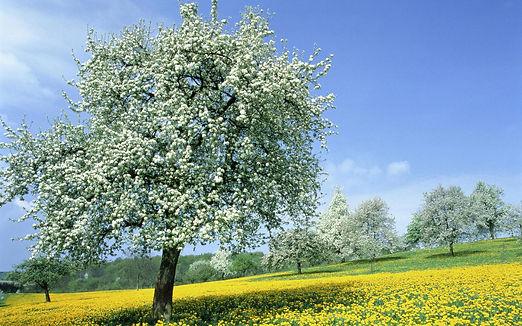 derev-cvetushie-spring-times-nature-7966