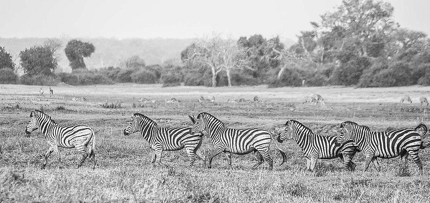 Zebra (1 of 1)-2.jpg