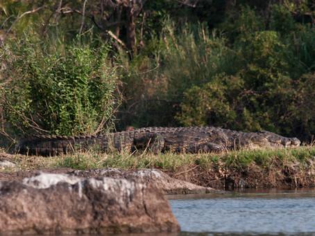 The Right Place, Kwando crocodile.