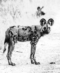 WILD DOGS (4 of 4).jpg
