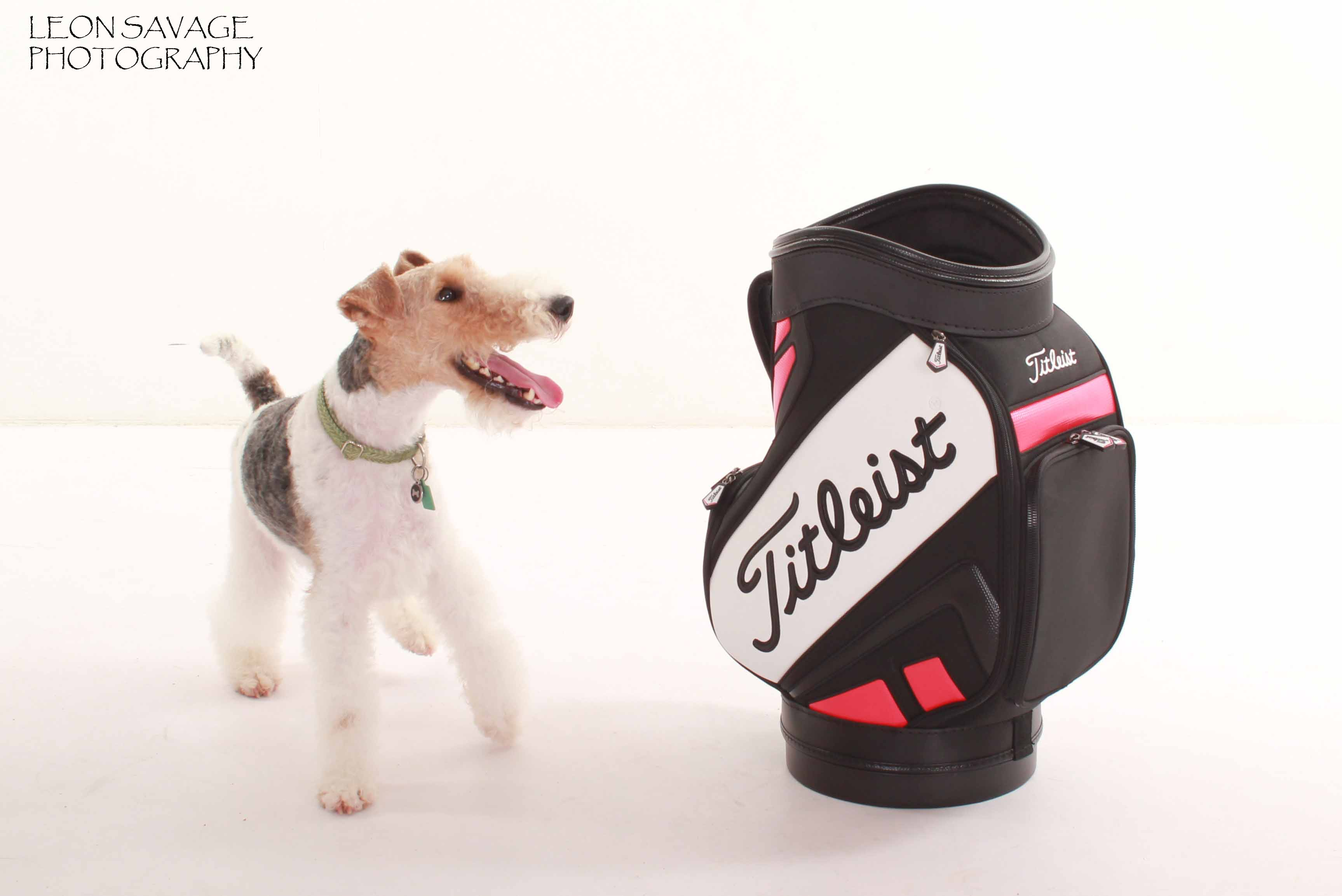 Fox terrier with a love for golf!
