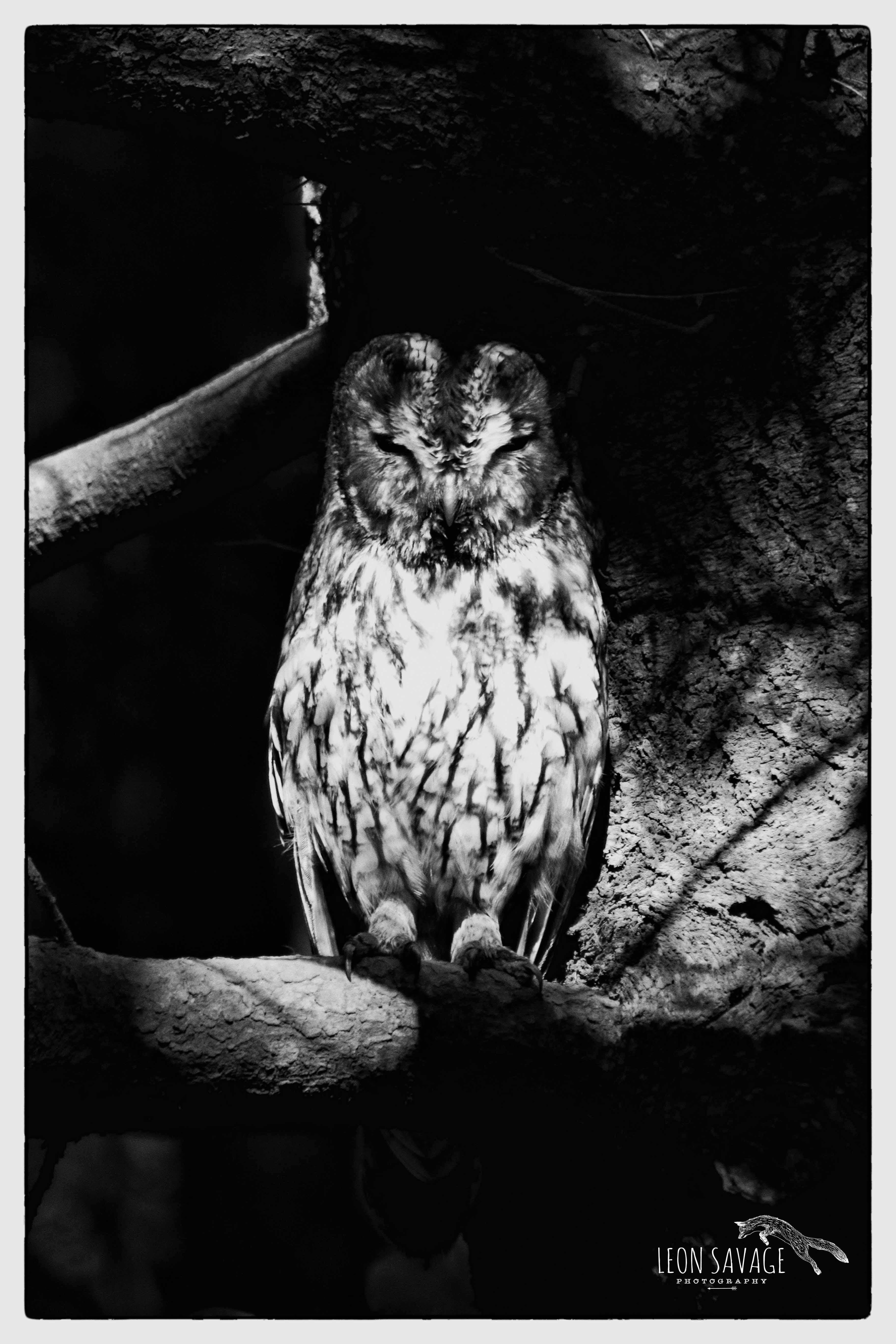 Tawnt Owl mono