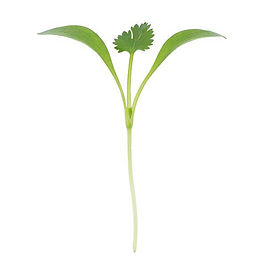 cilantro-microgreens-true-leaves.jpg