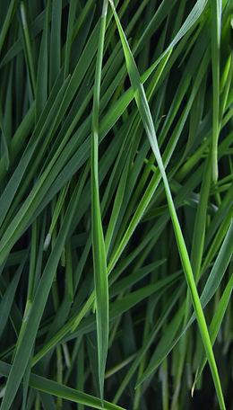 wheatgrasssitioweb.jpg